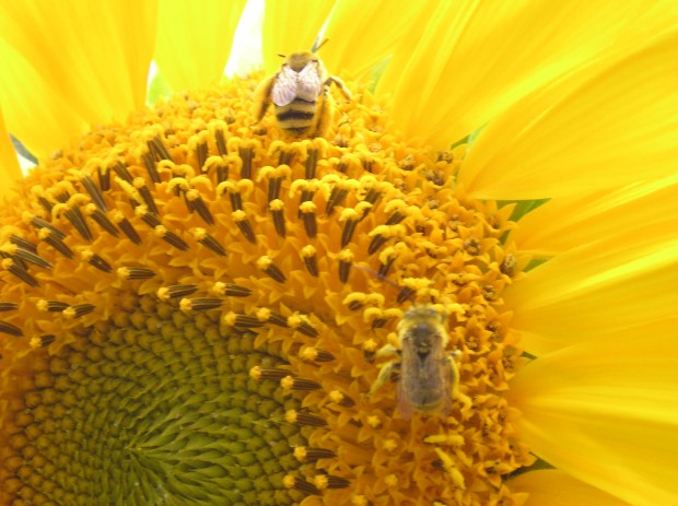 Bees Pollinating Sunflower